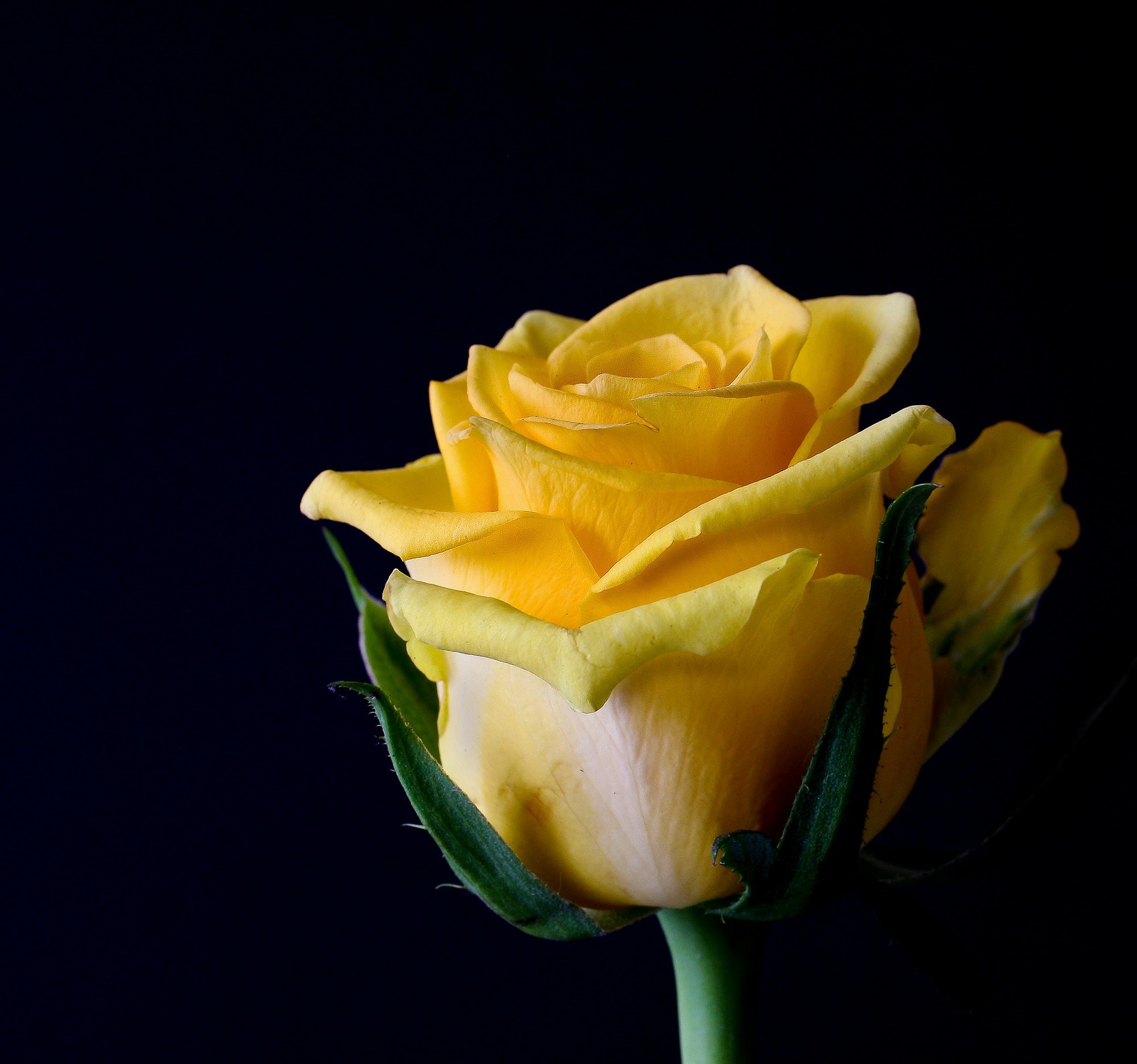 Sárga Rózsa, nőnap, NTRTEA